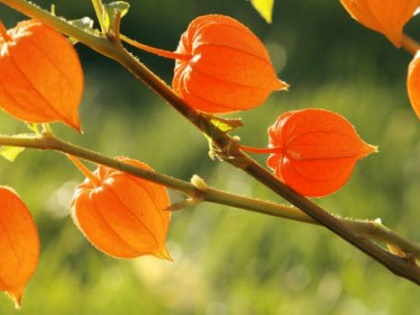 AYURVEDA: THE BENEFITS OF ASHWAGANDHA